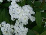 White Spyrea Flowers