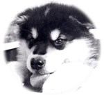 Happy malamute puppy