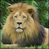 Lion - close up