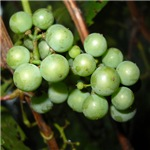 Wild Grapes in August