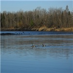 Geese in the River