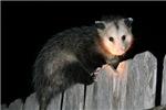 Visiting Possum