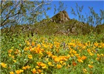 GOLD POPPIES AT PICACHO PEAK