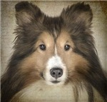 Simply Sheltie