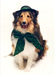 Irish Sheltie