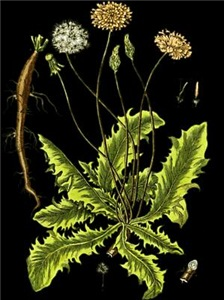 Botanical Dandelion