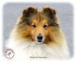 Shetland Sheepdog 9M053D-18