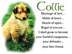 Sable Collie Puppy