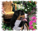 Greater Swiss Mountain Dog Gifts of Art