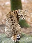 Geoffroy Cats