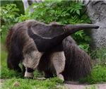Ant Eater & Aardvark