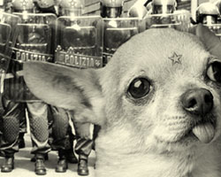 My Chihuahua is Militant!