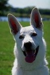 White German Shepherd Photo