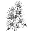 Pen and Ink Daisies