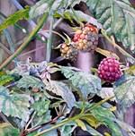 Three Berries