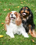 King Charles Spaniels In Autumn