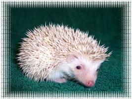 Sweet Pinto Hedgehog