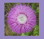 Purple Thistle Bloom
