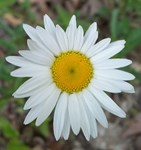 Lopsided Daisy