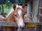 Fuego The Halflinger Pony
