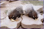 A Pair of Porcupine