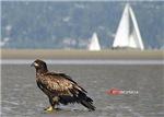 Juvenile Bald Eagle at Beach