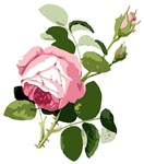Pink Rose Flower Art