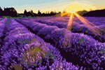 Lavender Fields Sunset Landscape