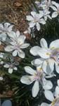White Lavender Iris Floral