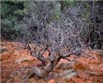 Tree at Devil's Bridge Trail 3516