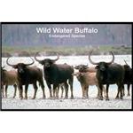 Wild Water Buffalo Photo