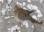 Winter Dove