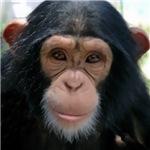 Wear a Chimp