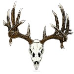 Whitetail deer, European skull mount