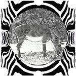 Zebra in print