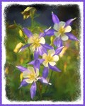 Colorado Blue Columbines