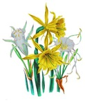 Daffodils and Narcissus by Loudon