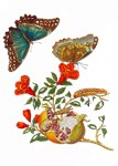 Maria Sibylla Merian - Pomegranate and Butterflies