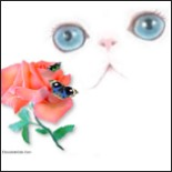 Aqua Blue Eyed Persian