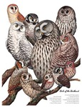Owls of the Northeast