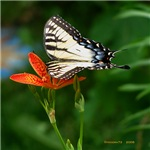 .swallowtail on candy lily.
