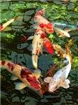 Japanese Oriental Koi Fish