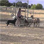 Herding Dog Art
