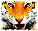 Tiger 01
