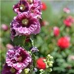 Hollyhock Flower Garden