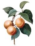 Apricots vintage