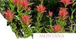Montana Indian Paintbrush