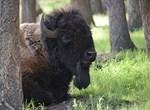 American Bison at Rest