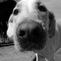 Labrador Retriever Shop!