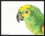 Hector the Orange Wing Amazon Parrot